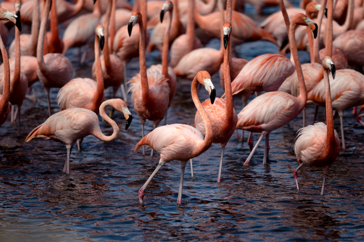 Close-up of a some flamingos walking on shallow water